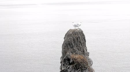 arctic tundra : Pair of seagulls have nests on devils finger (circumdenudation mountain). Burgomaster gull (glaucous gull) breeds in high Arctic, northernmost Seagull in world. Arctic ocean. Walrus behind rock Stock Footage