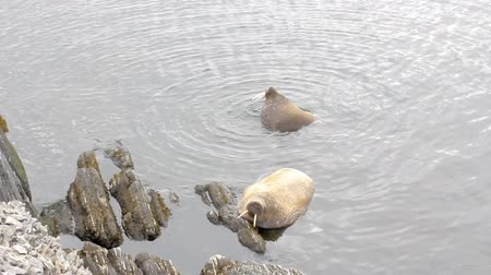 sea cow : Atlantic walruses (Odobenus rosmarus rosmarus) sailed from Arctic ocean to Arctic Islands (Vaigach) and relax in water