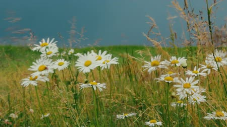 floweret : Summer forb meadow before thunderstorm. Bright field daisies (wild camomile) and grass swaying in background dark stormy sky, prethunderstorm sky, preceding storm, prestorm environment Stock Footage