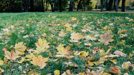 período : Autumn arrived in city, urban nature. First yellow leaves in square, public garden. Fallen leaves and grass in raindrops. Walk in Park, autumn mood. Cars and passers-by in background