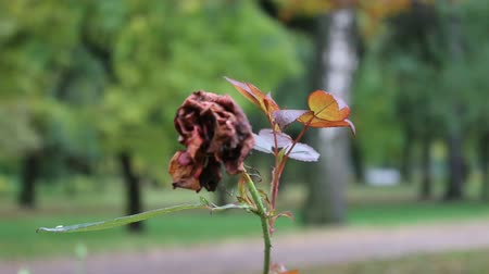 unopened bud : Dried rose flower in autumn Park. Symbol of decay and last of love, dead rose