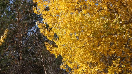 populus : Golden autumn aspen (Dutch beech, European aspen, Populus tremula) leaves tremble in wind like Golden rain Stock Footage