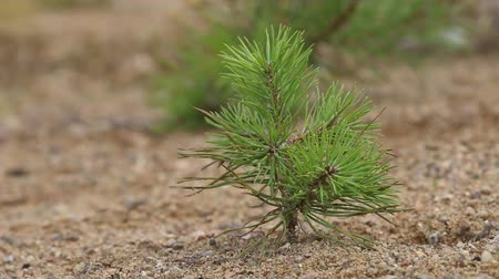 ağaçlandırma : Afforestation. Young spruce and pine  regrowth grew on plot with sandy soil. Small trees in summer. Summer nature grass Stok Video