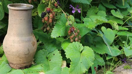 hera : Garden blackberries and an old clay jug with high neck. Village life and gardening