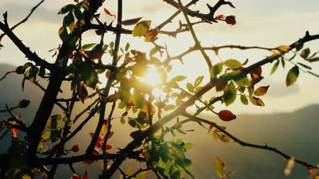metaphors : Autumn. Cold sunset. Wild rose Bush with fruit shaking in wind