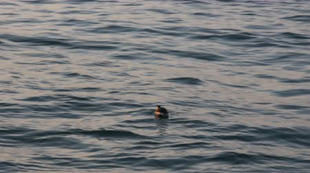 ruficollis : little grebe (little dabchick, Podiceps ruficollis) in winter plumage. Wintering grebes on cold-water Black sea coast of Caucasus
