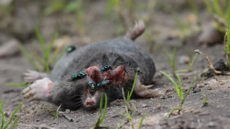 císař : Dead mole (mole-rat, Talpa europaea) was eating crow and sitting blowfly (green-bottle fly, Lucilia Caesar). Illustration of ecological (food chain) relationships in nature, animal behavior Dostupné videozáznamy