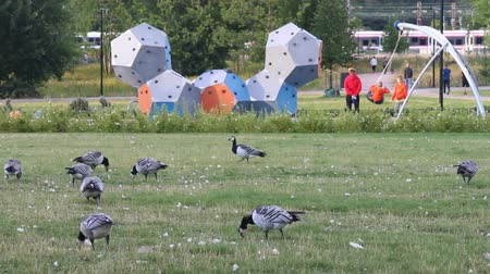 game hunting : Helsinki , Finland - August 20, 2017: Wild geese, Barnacle geese inhabit lawns in city center - prohibition of hunting and persecution Stock Footage