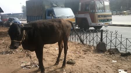 düve : Young cow heifer shit right on side of highway, transport goes past. Reverent attitude to cow in India Stok Video