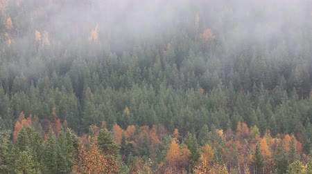 softwood forest : Autumn taiga (coniferous forest) in Finland and Scandinavia. Crawling over forest mist