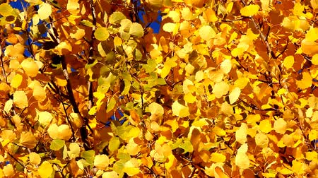 aureate : Mellow autumn. Luxurious Golden autumn aspen leaves moving in wind on blue sky background. Blue enhanced yellow