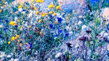 propagação : Very bright flowers in meadow sways in wind. Height of summer, blue marine violet (Viola odorata maritima), yellow deervetch (Lotus Ruprechtii), white furry pussycat Vídeos