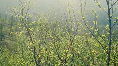 altura : Blind rain (sunshower) and fresh green leaves in mountain forest, spring day, spring greens
