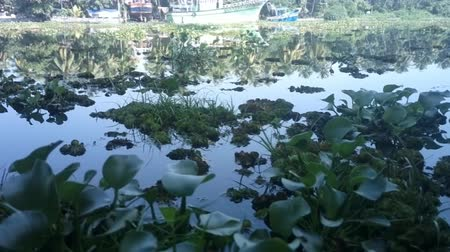 zarostlý : Quarantine weed cleans eutrophicated pond. Surface of lake hidden by carpet of floating watermoss and fern (Salvinia adnata, Polypodium). Vegetation impedes the movement of ships. Kerala, India Dostupné videozáznamy