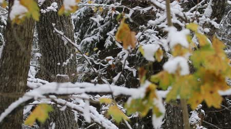 nemli : Winter came, first snow. - transition between autumn and winter in Northern forest. Thick forests and yellow leaves as foreground Stok Video