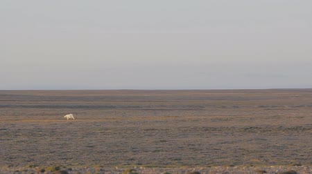 plain : Arctic landscape. Polar bear in dark and lifeless Arctic desert. Problems with food, reduce population of bears in Kara sea.