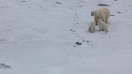 mortal : Meeting family of polar bear with icebreaker in frozen Arctic ocean. Bears are curious, mather cautious, Steps back as extreme manifestation of attention. Bear cubs run exactly in tracks