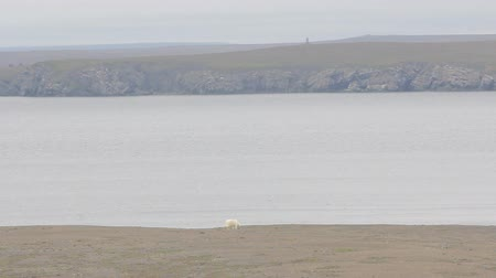 cold desert : Polar bear roams near rookeries on shore of Barents sea in Arctic desert. Across Bay is visible nuclear test site (tower and armor casemates 60-years). Archipelago Novaya Zemlya, South island