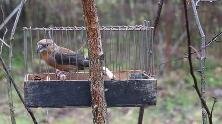 ave canora : Birdcatching (fowling) as most ancient human occupation (for male only). Fowler holds cage with crossbill (Loxia curvirostra, singing male). Such small cages are used for decoy bird