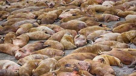 slumber : Life Atlantic walruses at haul out sites is (at most) of sleep and small conflicts with neighbors. Make sleep, not war (sea hippie).