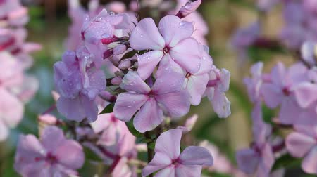 floriculture : Inflorescence of roseate Phlox in raindrops. Flowers from North America