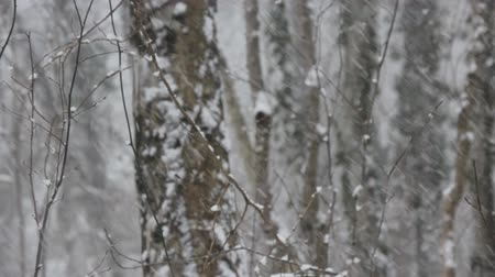 snow flurry : Winter deciduous forest on shore of the Black sea. European hornbeam (Carpinus betulus), hornbeam-wood, sleet (wet snowfall), snow smothered trails, snow never ceased falling, blizzard Stock Footage