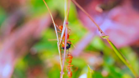elfog : Battle on thin stem. Three Red (Oecophylla) ants caught spy of another species and tear it apart. Macro
