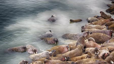 thick : Life Atlantic walruses at haul out sites is (at most) of sleep and small conflicts with neighbors. Make sleep, not war (sea hippie).