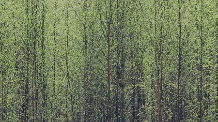 vago : Pleasing man spring. Young bright green leaves blossomed on trees, leaf flushing, foliage expansion. Green wall of birch forest, verdure; greenth Stock Footage
