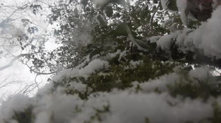 реликвия : In wilds of subtropical forests in winter. Beech braided vines. Sudden cold. Snowflakes swirl in camera lens as white flies