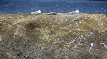 conquest : Seagulls, Glaucous gulls took sitting position while resisting very strong wind. Arctic hurricanes, wind piteraq