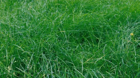zayıf : Dewy grass. Bright green grass after rain