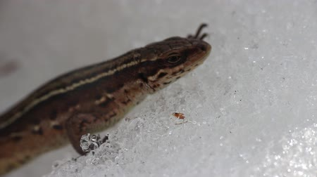 hibernation : Viviparous lizard woke up from hibernation and goes through snow-covered area, irregular breathing reptiles