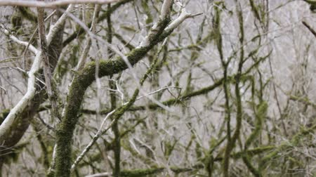 subtropical : Subtropical forest in winter. Bare branches rereview with moss and without moss woven in pattern, bower, interweaving of branches Stock Footage