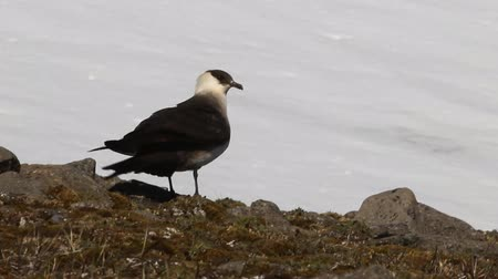 коршун : Arctic skua (Richardsons skua, parasitic jaeger, Stercorarius parasiticus) is real predator and robber for Arctic birds, virtuoso kleptoparasite. Adult light morph. Franz Joseph Land Стоковые видеозаписи