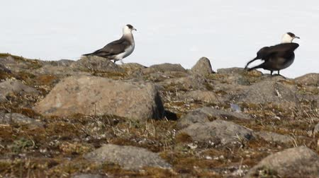 piracy : Arctic skua (Richardsons skua, parasitic jaeger, Stercorarius parasiticus) is real predator and robber for Arctic birds, virtuoso kleptoparasite. Adult light morph, pair at nest. Franz Joseph Land