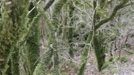 boxwood : Area of subtropical rain forest in winter. Boxwood Colchis (Buxus colchica) covered with epiphytes and mosses Stock Footage