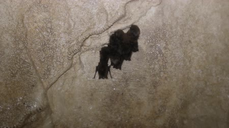 speleology : Common bats, mouse-eared bats (Myotis) winter sleep in karst caves of Urals, speleobios. Sulphate rocks, gypsum cave, sinter on walls, calcite sinters, calcite ice Stock Footage