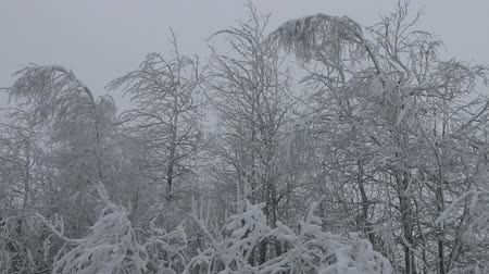 szron : Siberian frosts. Northern winter forest. Trees covered with frost, rime