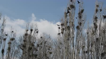 corvus frugilegus : Lombardy poplar and and colony of rooks on Mediterranean coast of Turkey
