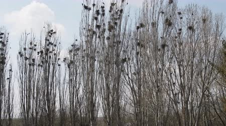 pyramidal : Lombardy poplar and and colony of rooks on Mediterranean coast of Turkey