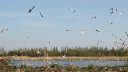 szybowiec : Spring, delicate young foliage trees, and noisy nesting gulls on ponds, spring mood, black-headed gull (Larus ridibundus)