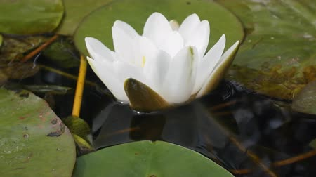leknín : European white waterlily; white waterlily (Nymphaea alba) in summer pond