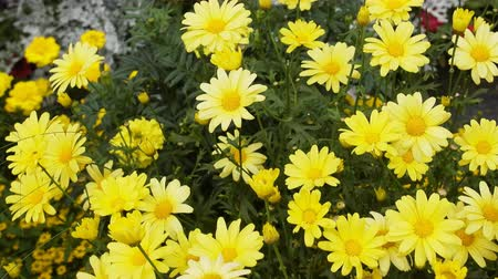 pączek : Bright yellow flowers in summer garden. Probably heliopsis. Flower beds as feminine pleasure
