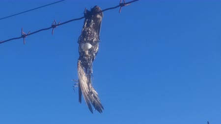 растворение : Bird was hanging on barbed wire, it died and turned into skeleton with feathers. Concept of technical human as nature murder