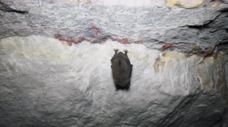 hibernation : Bats as inhabitants of caves and dungeons, cave-dweller, speleobios. Daubentons Bat (Myotis daubentoni), water bat in state of hibernation in mine tunnel, sleep upside down, put on head