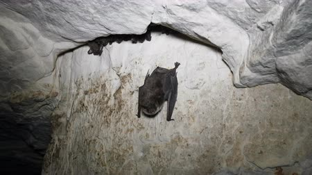 speleology : Daubentons Bats hibernating in cave. One mouse out of cracks and shrieks angrily and bares his teeth, takes off