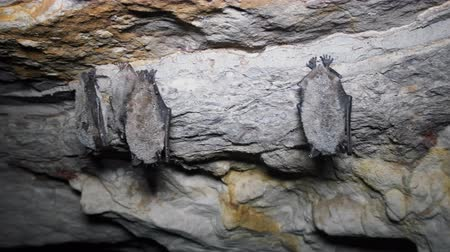 hibernation : Four Whiskered bats (Myotis mystacinus) hibernate (winter slumber) in caves hang upside down and covered with dew, speleobios