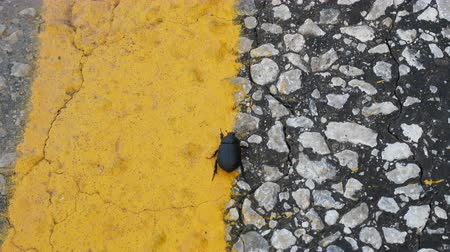 sağlam : Cernatescu beetle crawling on road by dividing strip of road and will be certainly crushed by car Stok Video