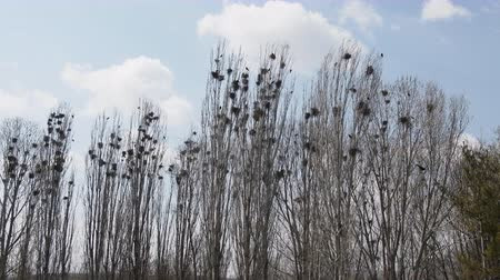 corvus frugilegus : Lombardy poplar and colony of rooks on Mediterranean coast of Turkey. Early spring, beginning of nesting birds. Spring grove Stock Footage